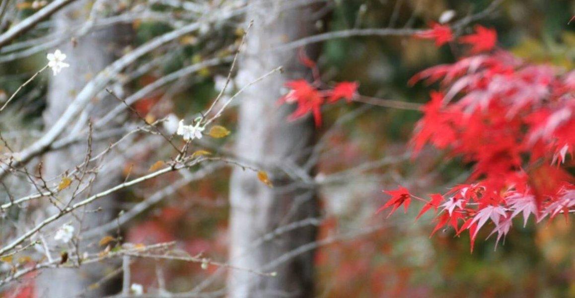 神蔵寺の紅葉と十月桜 見頃 2018年11月7日 撮影:MKタクシー