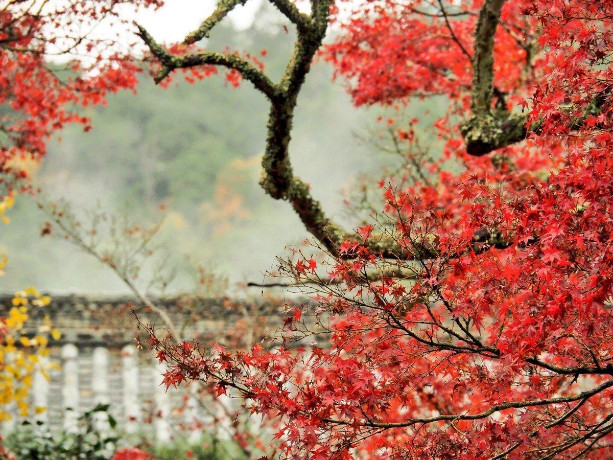 神蔵寺「天上の木」の紅葉 見頃 2017年11月日 撮影:MKタクシー