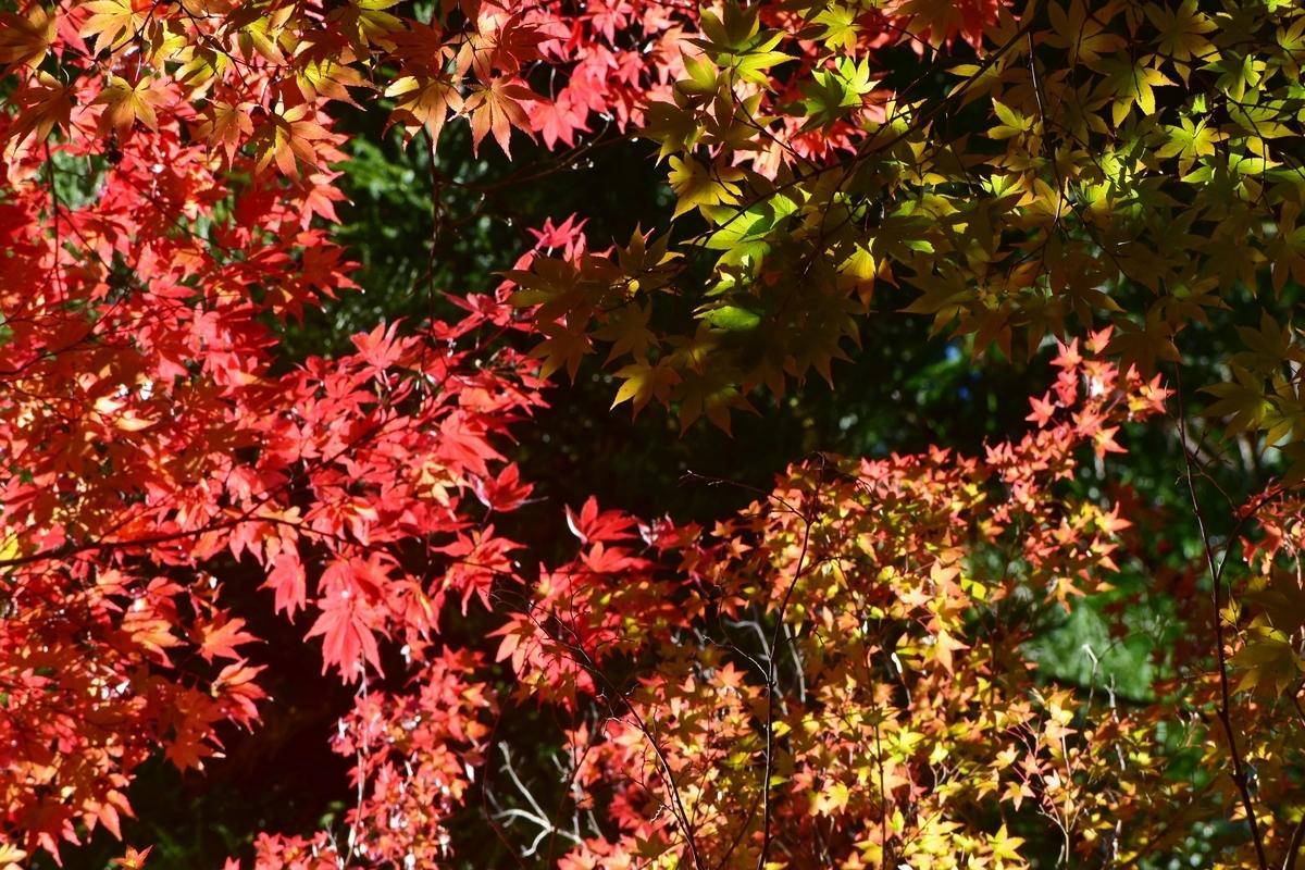苗秀寺の紅葉 見頃 2019年11月9日 撮影:MKタクシー