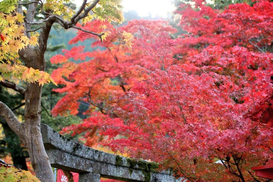 鍬山神社の紅葉 見頃 2018年11月7日 撮影:MKタクシー