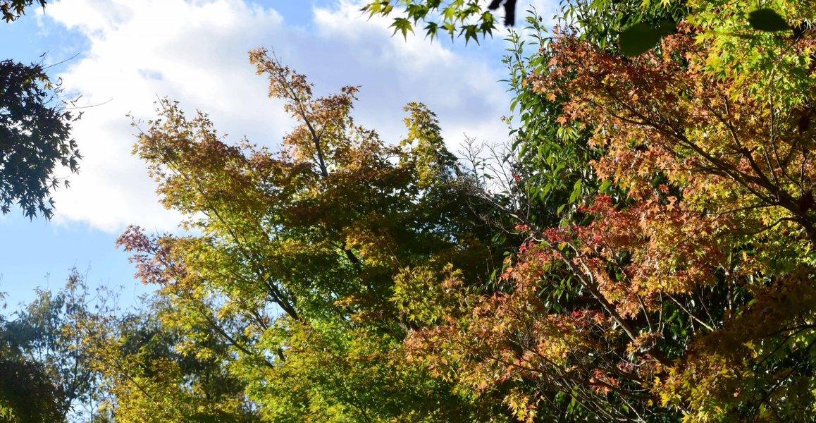 宇治市植物公園・秋のゾーンの紅葉 色づきはじめ 2018年10月20日 撮影:MKタクシー