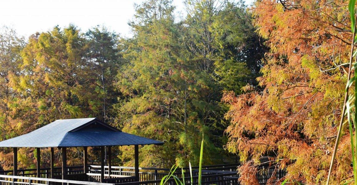 宇治市植物公園・修景池のヌマスギの紅葉 色づきはじめ 2018年11月11日 撮影:MKタクシー