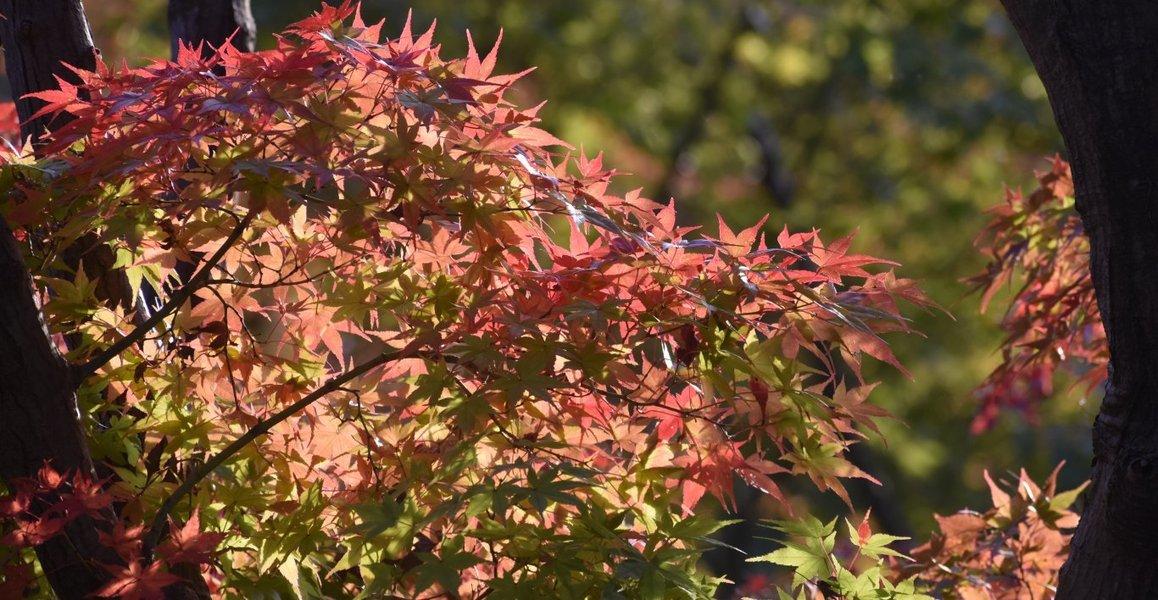 宇治市植物公園・秋のゾーンの紅葉 色づきはじめ 2018年11月11日 撮影:MKタクシー