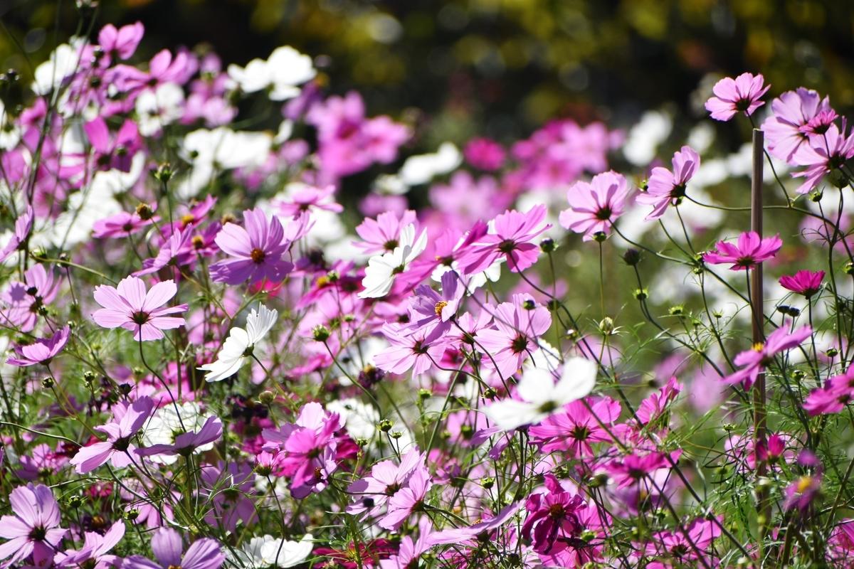 宇治市植物公園 コスモス 見頃 2020年10月25日 撮影:MKタクシー