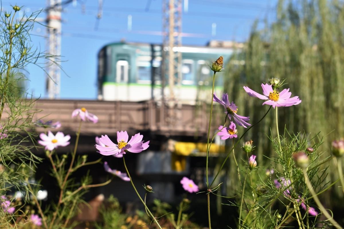 宇治川派流 京阪電車とコスモス 散りはじめ 2020年10月25日 撮影:MKタクシー