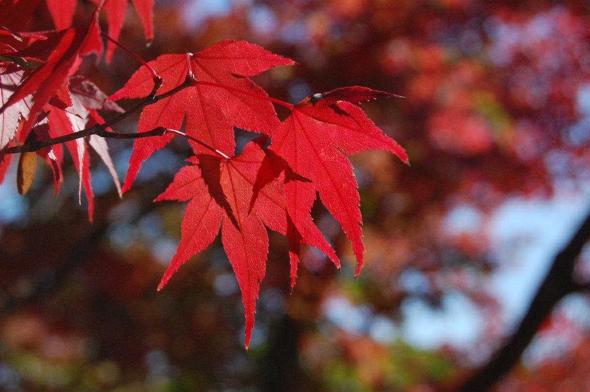 光悦寺の紅葉 見頃近し 2007年11月7日 撮影:MKタクシー