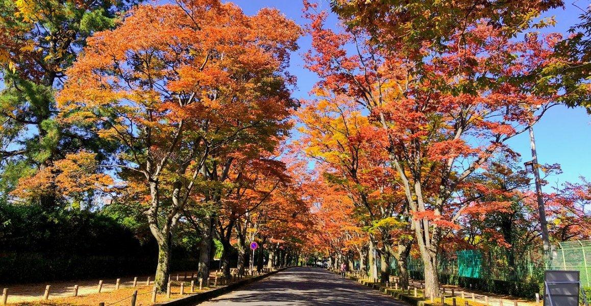 京都府立植物園・ケヤキ並木の紅葉 見頃 2019年11月13日 撮影:MKタクシー