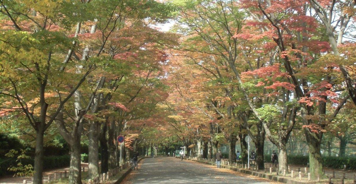 京都府立植物園・ケヤキ並木の紅葉 見頃近し 2013年11月4日 撮影:MKタクシー