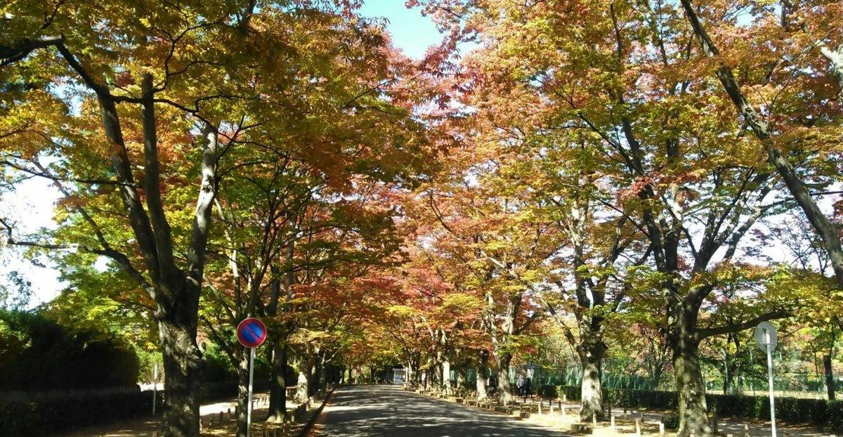 京都府立植物園・ケヤキ並木の紅葉 見頃近し 2014年10月30日 撮影:MKタクシー