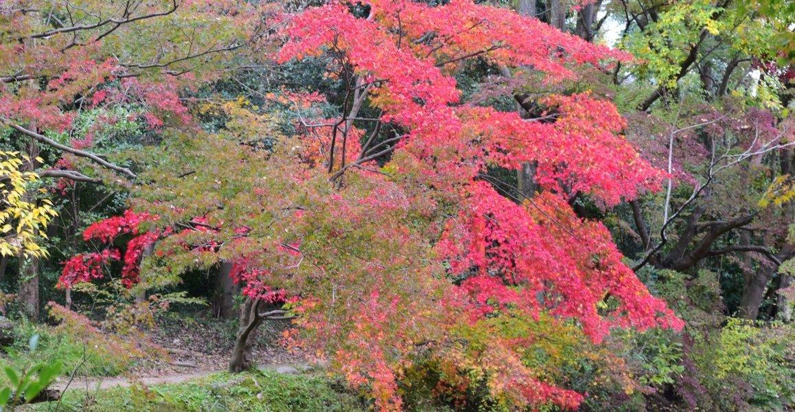 京都府立植物園・半木の森の紅葉 見頃 2018年11月14日 撮影:MKタクシー