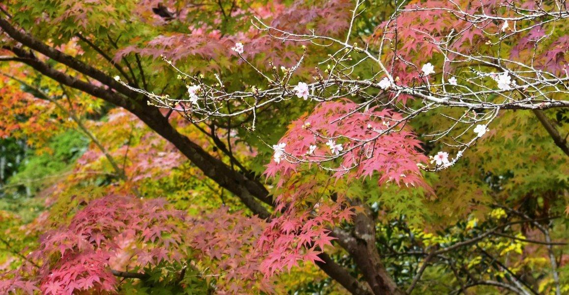 赤山禅院の桜と紅葉 見頃近し 2018年11月4日 撮影:MKタクシー