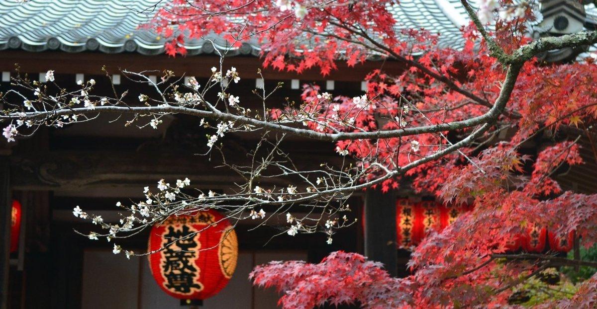 赤山禅院の桜と紅葉 見頃 2017年11月11日 撮影:MKタクシー