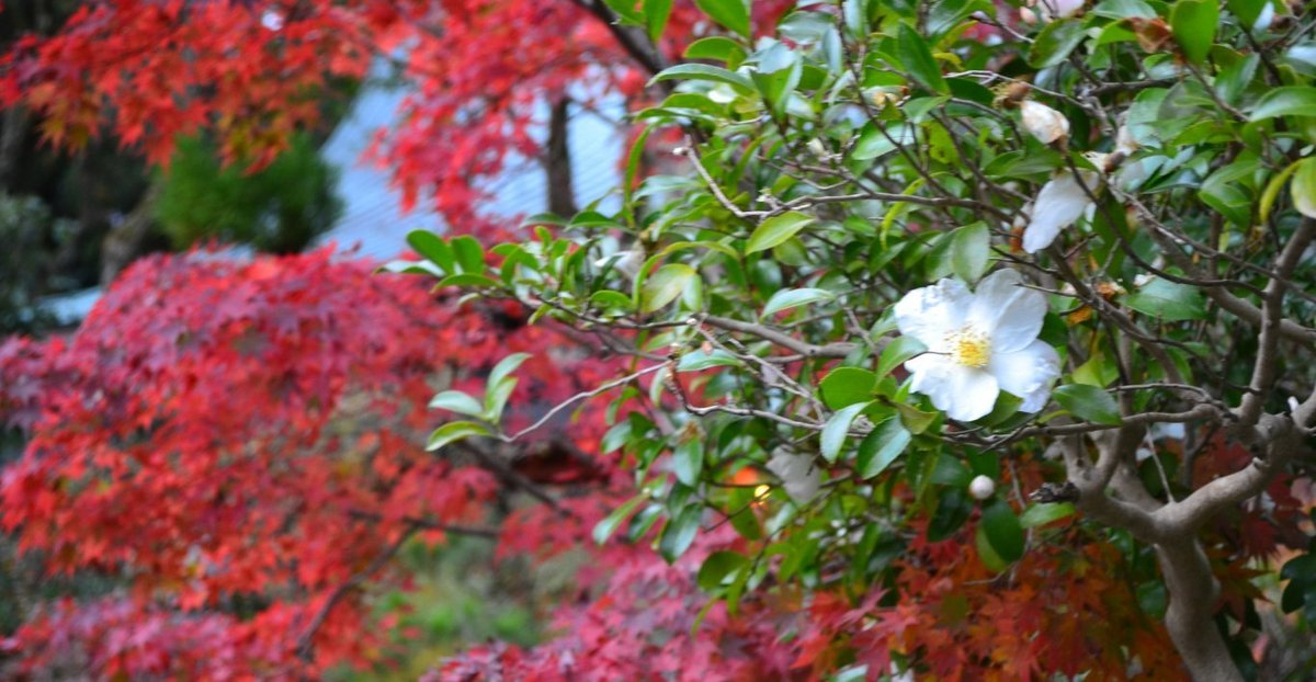 赤山禅院の紅葉とサザンカ 見頃 2017年11月11日 撮影:MKタクシー