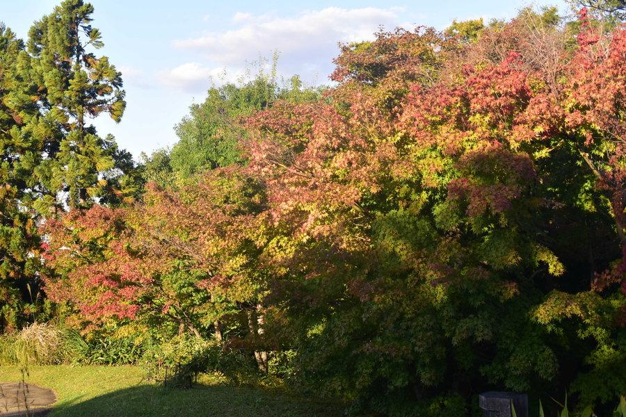梅小路公園・朱雀の庭の紅葉 色づきはじめ 2018年10月28日 撮影:MKタクシー