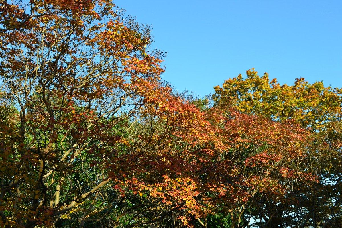 梅小路公園・サルスベリの紅葉 見頃近し 2017年10月31日 撮影:MKタクシー