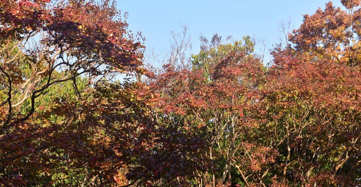 梅小路公園・サルスベリの紅葉 見頃 2019年11月8日 撮影:MKタクシー