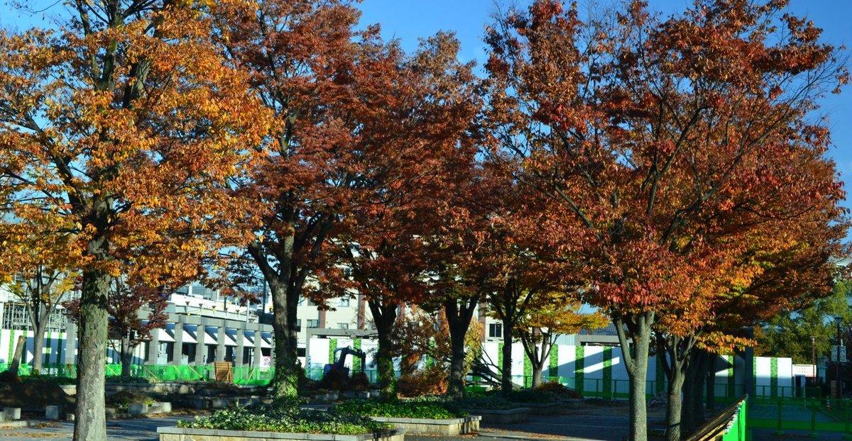 梅小路公園・ケヤキの紅葉 見頃 2017年11月10日 撮影:MKタクシー