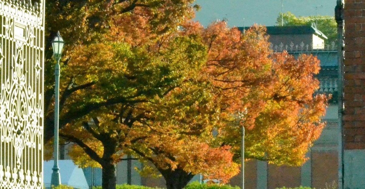 京都国立博物館・ケヤキの紅葉 見頃 2017年11月13日 撮影:MKタクシー