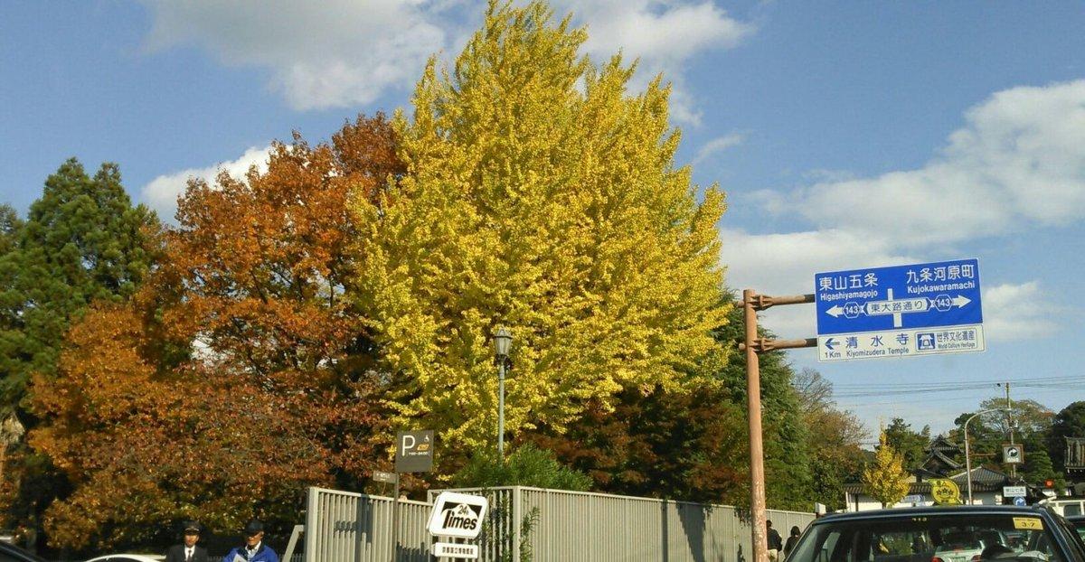 京都国立博物館・イチョウの黄葉 見頃 2014年11月18日 撮影:MKタクシー