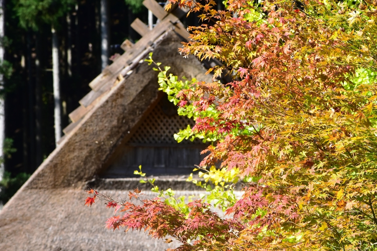葺き替えられたばかりの屋根と紅葉 見頃 2019年11月10日 撮影:MKタクシー