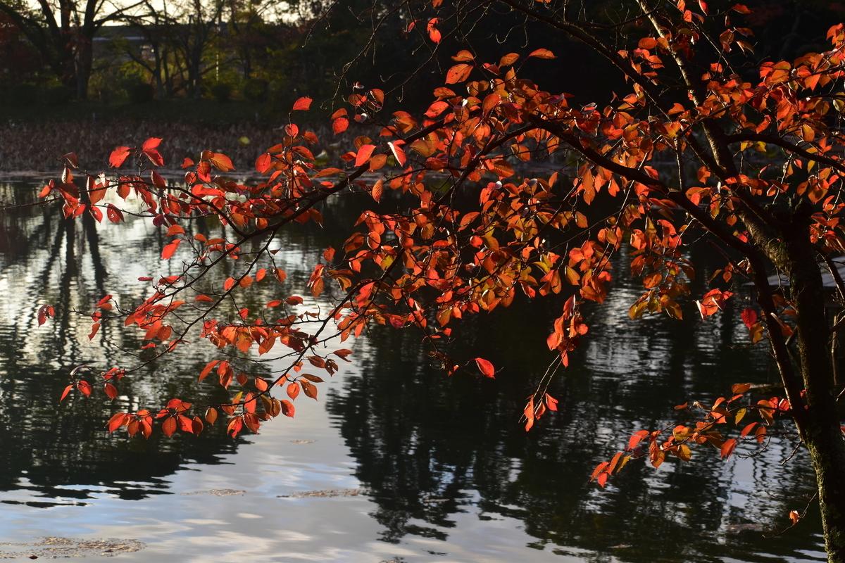 大沢池・ソメイヨシノの紅葉 散りはじめ 2018年11月15日 撮影:MKタクシー