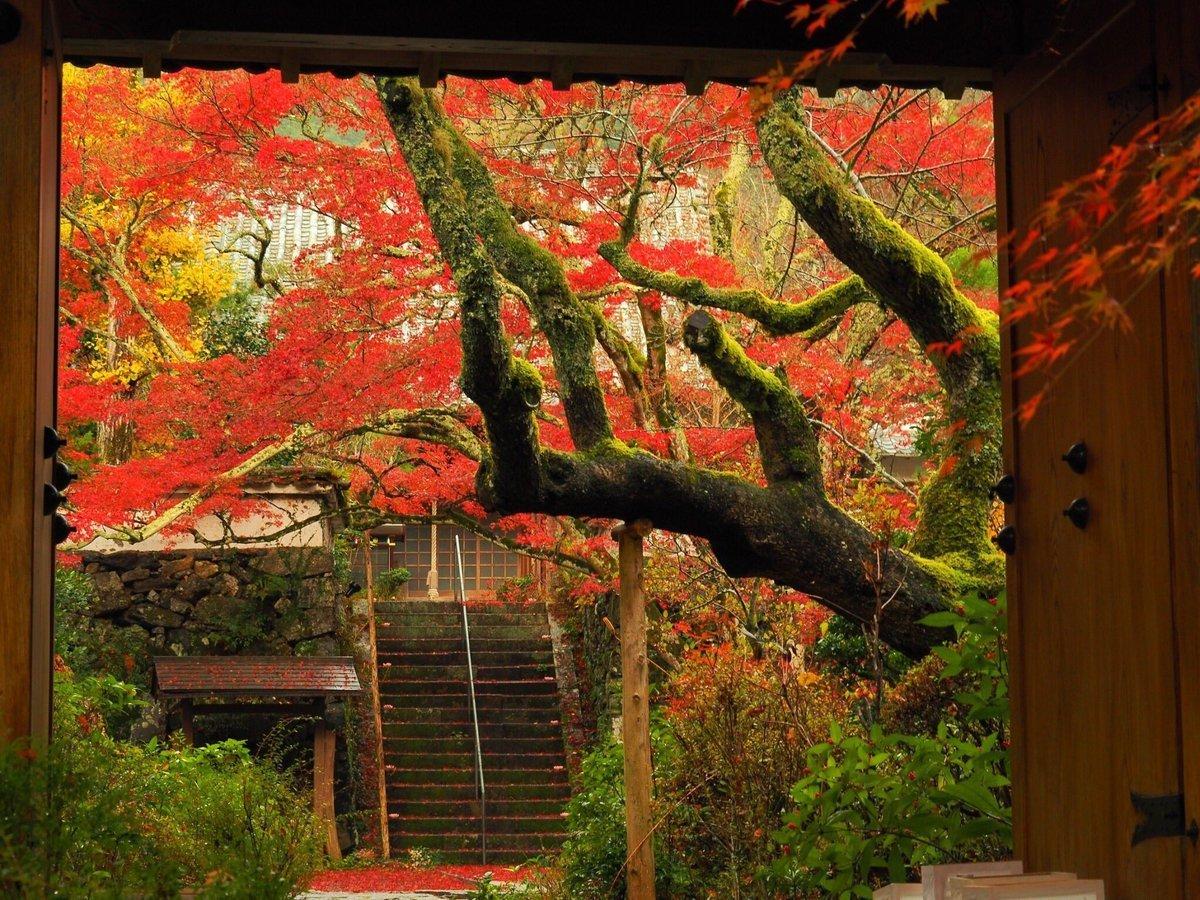 神蔵寺・天上の木の紅葉 見頃 2016年11月11日 撮影:MKタクシー
