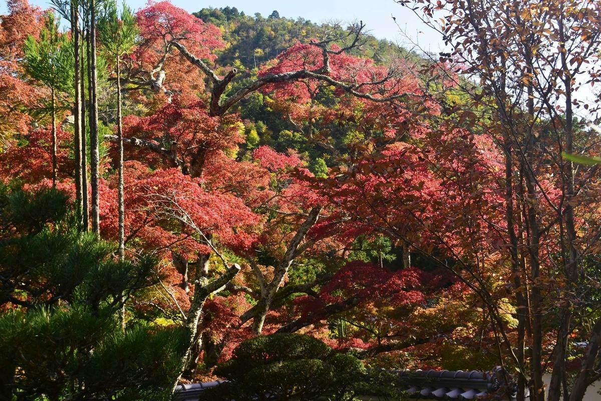 神蔵寺・天上の木の紅葉 見頃 2019年11月9日 撮影:MKタクシー