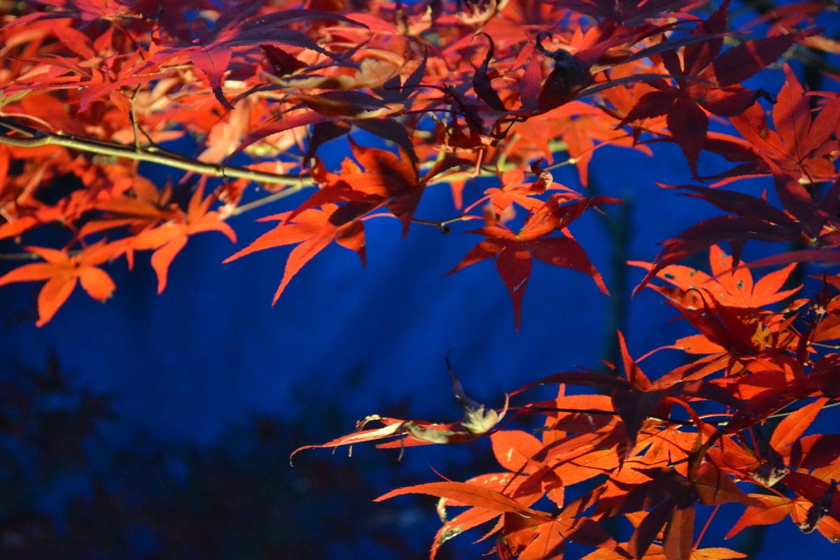 鍬山神社の紅葉ライトアップ 2017年11月12日 撮影:MKタクシー