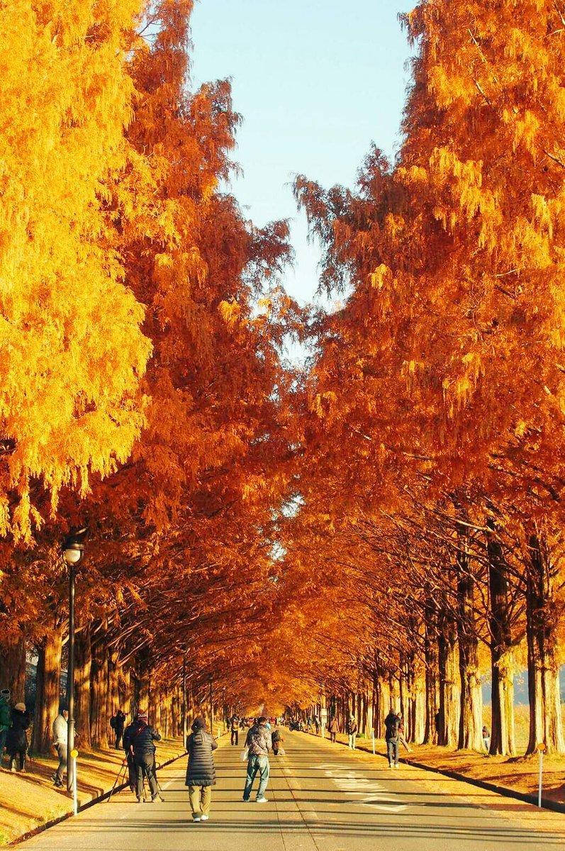 メタセコイア並木の紅葉 見頃 2016年12月3日 撮影:MKタクシー