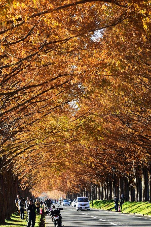 メタセコイア並木の紅葉 見頃 2018年12月2日 撮影:MKタクシー