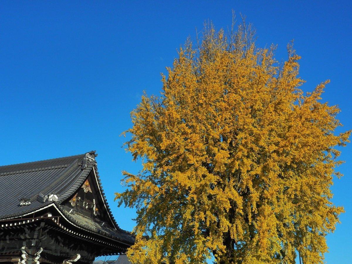 西本願寺・御影堂門裏のイチョウ 見頃 2017年11月23日 撮影:MKタクシー