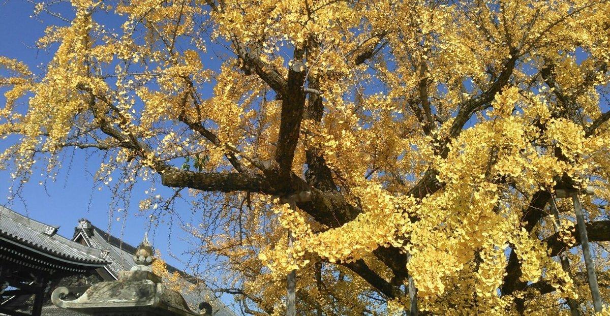 西本願寺・逆さ銀杏 散りはじめ 2016年12月3日 撮影:MKタクシー