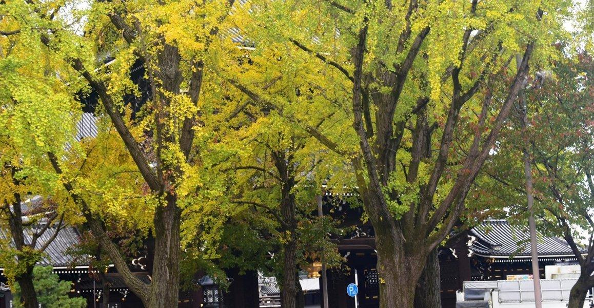 東本願寺・御影堂門前の銀杏 色づきはじめ 2018年11月5日 撮影:MKタクシー