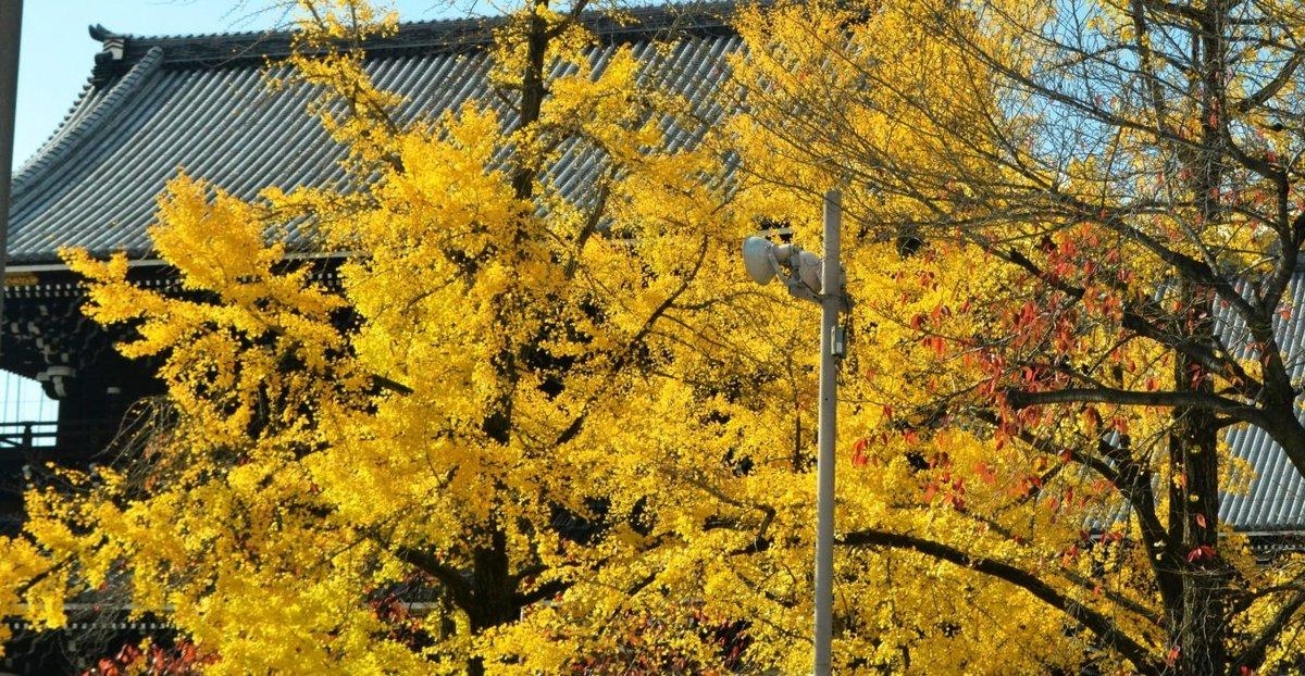 東本願寺・御影堂門前の銀杏 見頃 2017年11月21日 撮影:MKタクシー