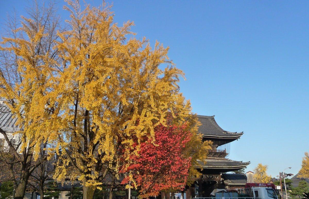 東本願寺・御影堂門前の銀杏 見頃 2009年12月1日 撮影:MKタクシー