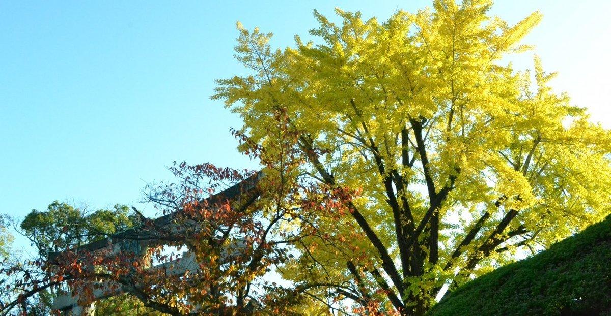 豊国神社のイチョウ 見頃近し 2017年11月13日 撮影:MKタクシー