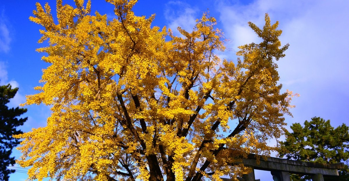 豊国神社のイチョウ 見頃 2017年11月21日 撮影:MKタクシー