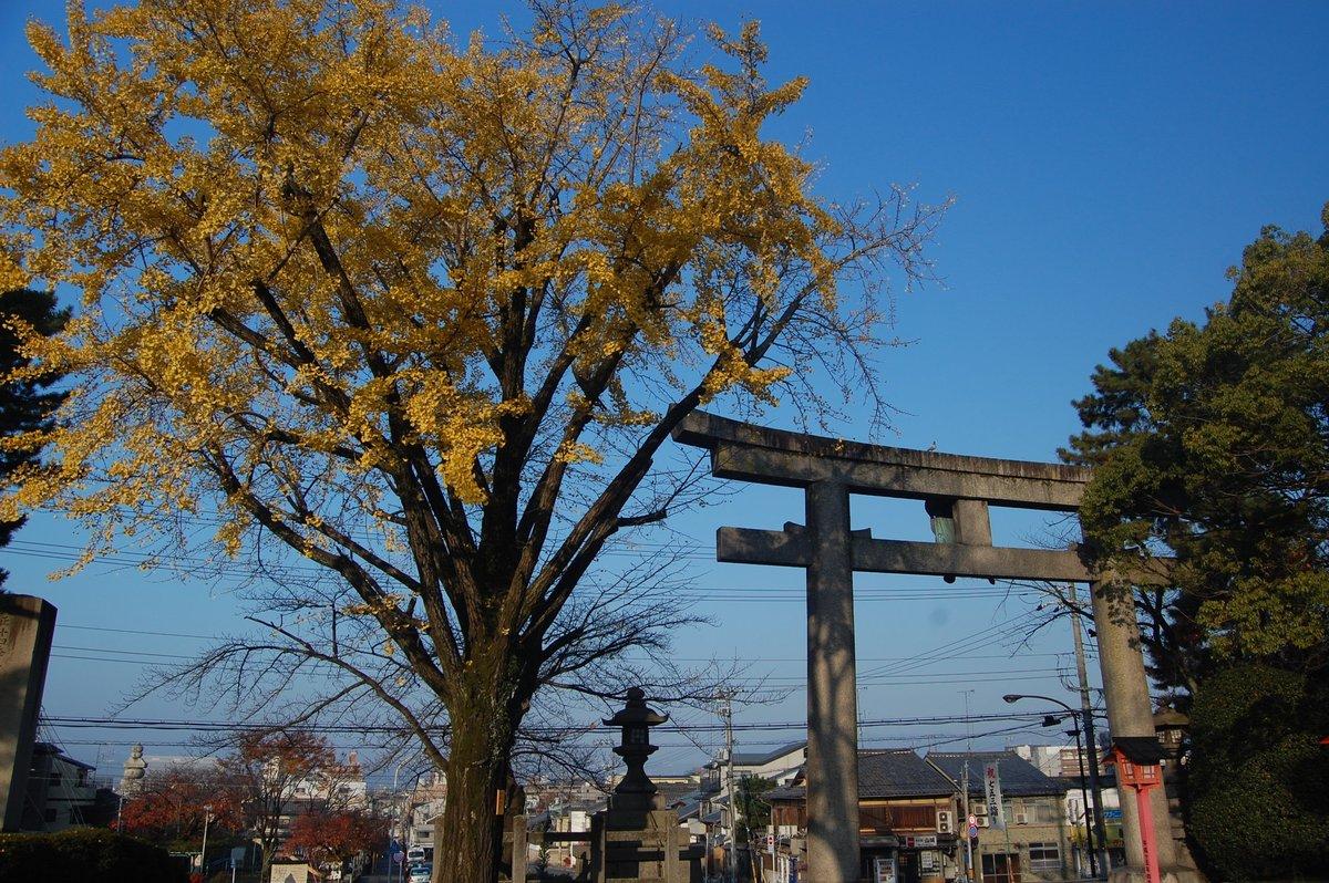 豊国神社のイチョウ 散りはじめ 2019年11月29日 撮影:MKタクシー