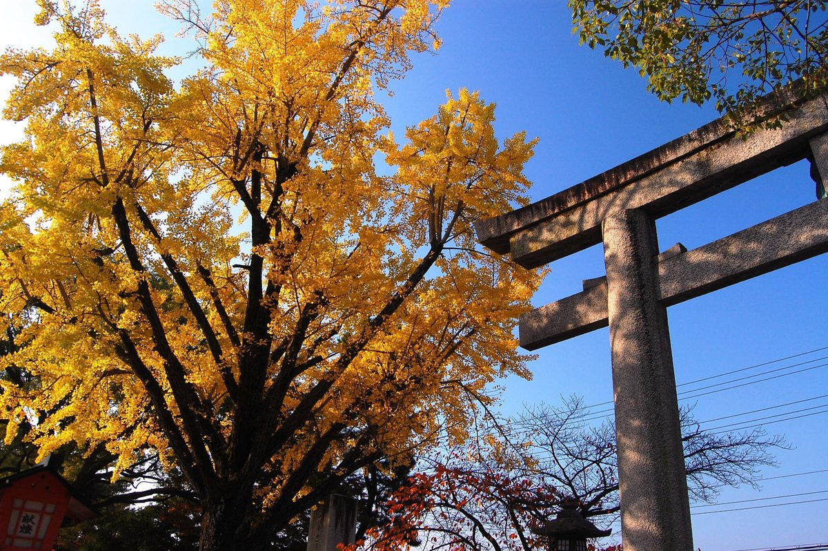 豊国神社のイチョウ 見頃 2007年11月24日 撮影:MKタクシー
