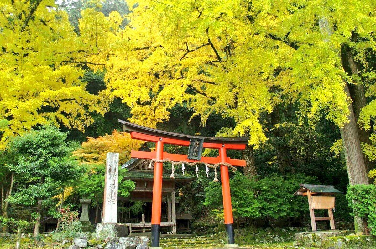 岩戸落葉神社のイチョウ 見頃 2016年11月14日 撮影:MKタクシー