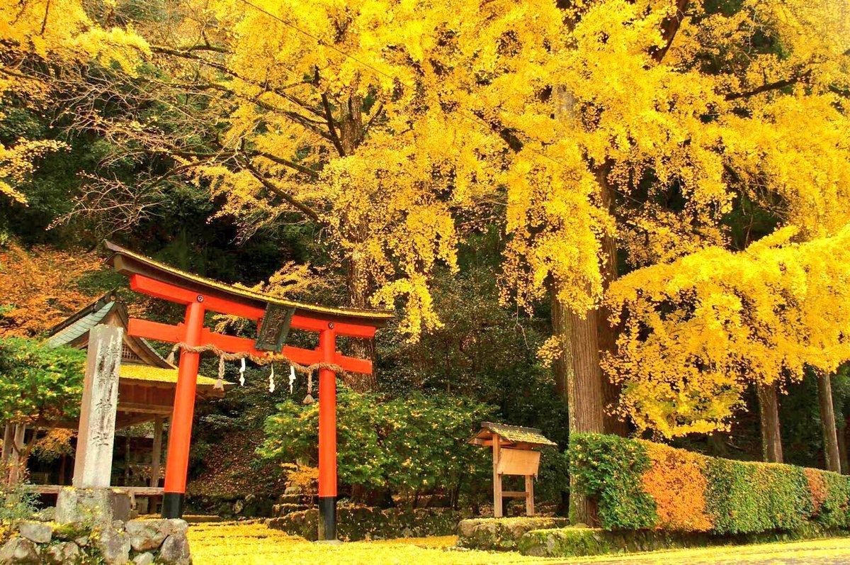 岩戸落葉神社のイチョウ 見頃 2016年11月21日 撮影:MKタクシー