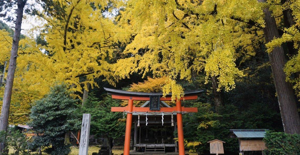 岩戸落葉神社のイチョウ 見頃 2019年11月20日 撮影:MKタクシー