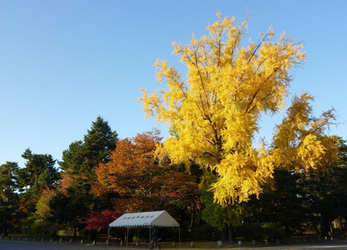 京都御苑・皇后門前のイチョウ 見頃 2010年11月16日 撮影:MKタクシー