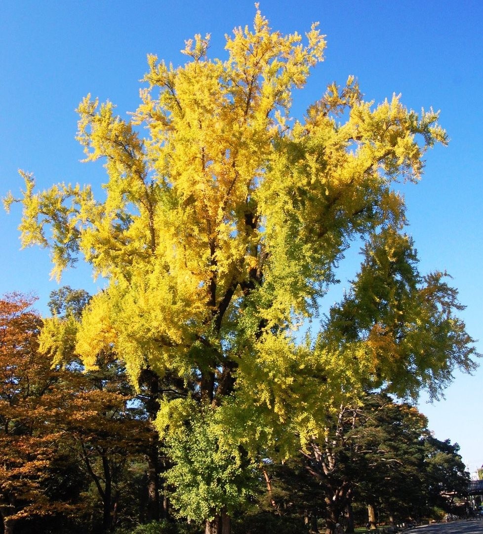 京都御苑・皇后門前のイチョウ 見頃近し 2007年11月8日 撮影:MKタクシー
