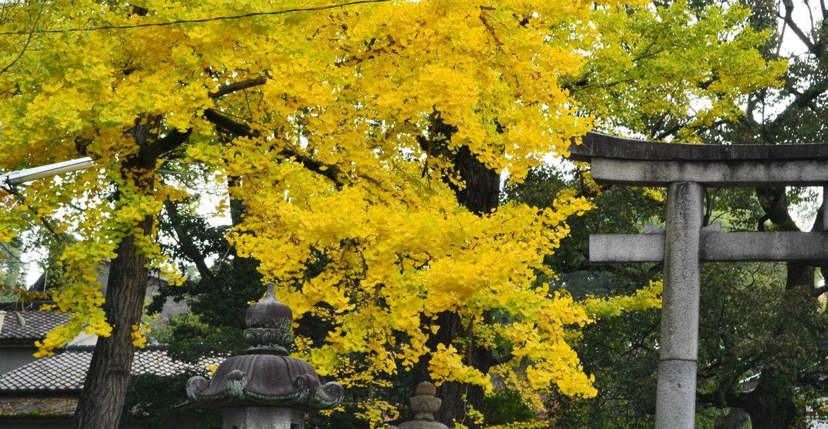 藤森神社のイチョウ 見頃近し 2017年11月9日 撮影:MKタクシー