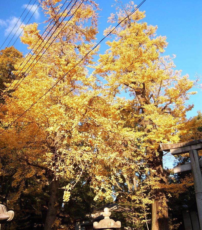藤森神社のイチョウ 見頃 2008年11月26日 撮影:MKタクシー