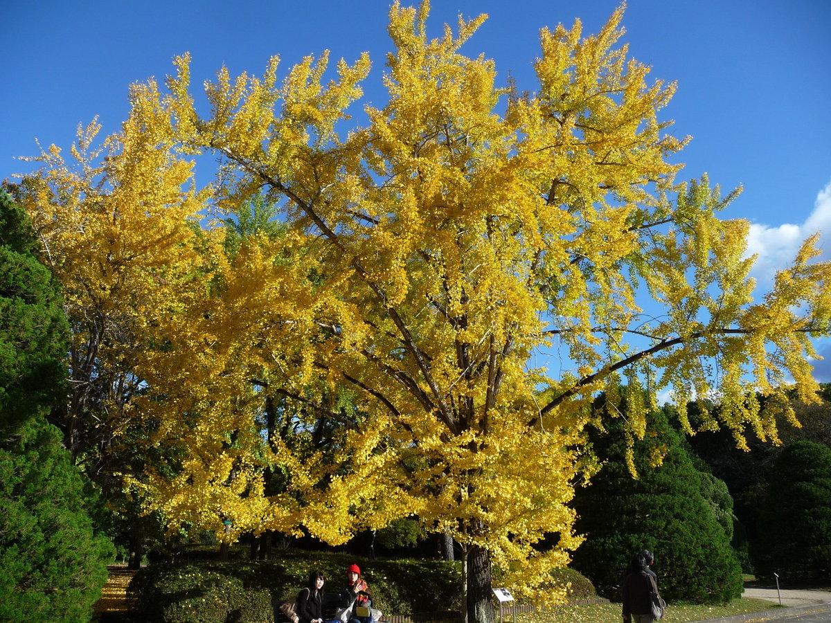 京都府立植物園・温室前のイチョウ 見頃 2009年11月14日 撮影:MKタクシー