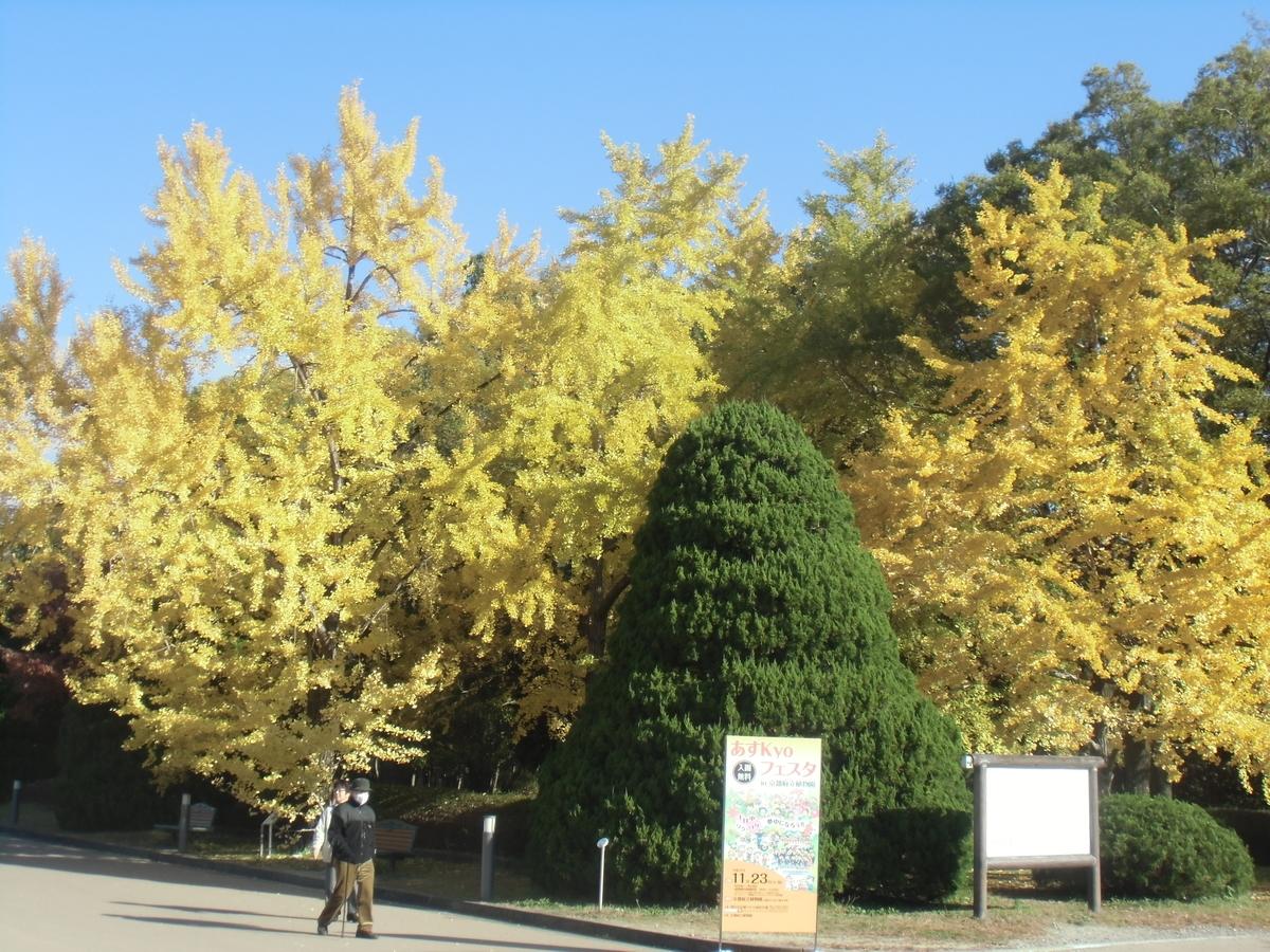 京都府立植物園・正門前のイチョウ 見頃 2013年11月23日 撮影:MKタクシー