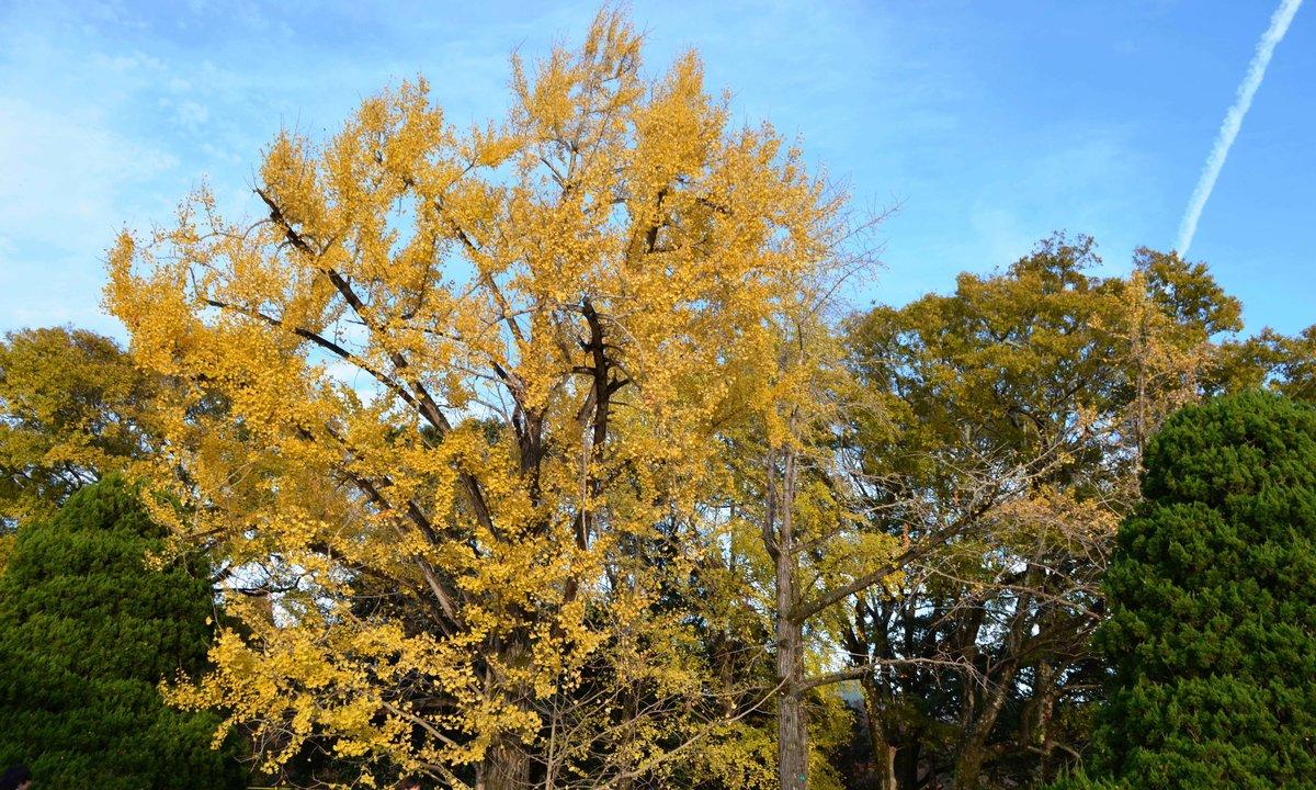 京都府立植物園・温室前のイチョウ 見頃過ぎ 2017年11月25日 撮影:MKタクシー