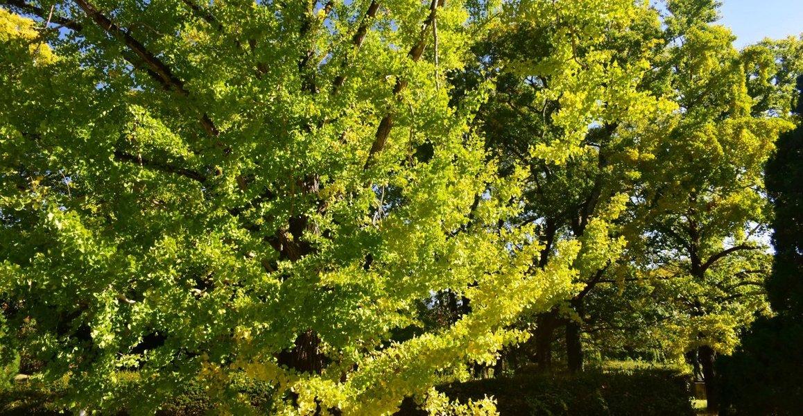 京都府立植物園・温室前のイチョウ 色づきはじめ 2019年11月13日 撮影:MKタクシー